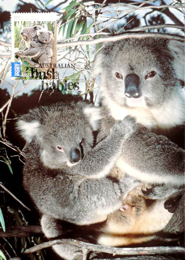 2009 Australia Post Maximum Card - Koala Bush Babies